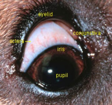 Dog Eye Turning Black