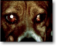 Dog Cherry Eye Picture
