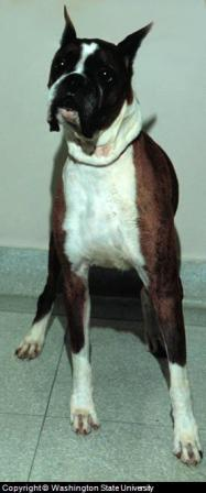 Boxer Dog, Example of Dog with Short and Wide Muzzle