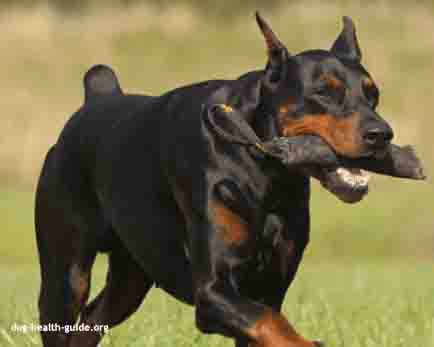 Doberman playing - Dobermans are at risk for congenital heart disease.