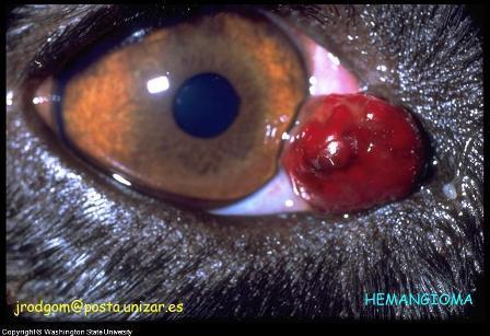 Canine Eye Tumor