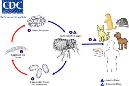 canine fleas