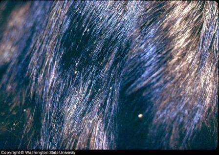 Close-up of Cat Lice and Nits on Cat Hair