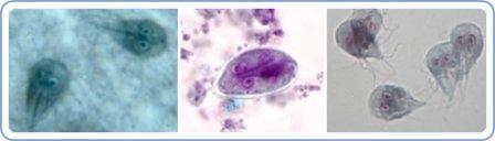 Protozoa causing Giardiasis in Dogs