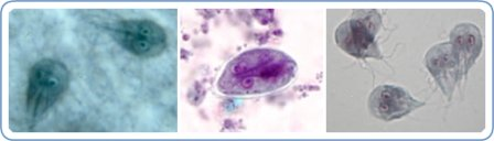 Protozoa causing Giardiasis in Dogs