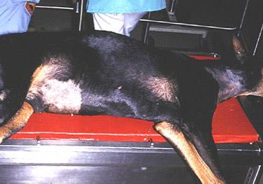 Dog Bloat Patient - Example 1
