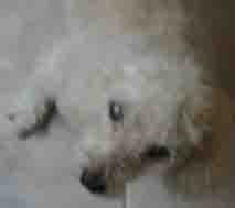 Poodle with Cataracts in Both Eyes