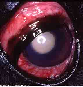 Dog Conjunctivitis Due to Glaucoma