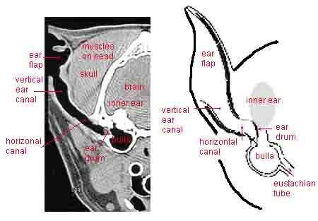 Dog Ear Anatomy - 2 Diagrams