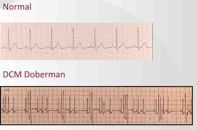 Dog EKG: DCM and Canine Congenital Heart Disease