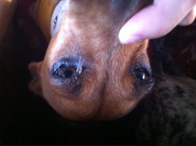 Redness on Top Dog Eyelid