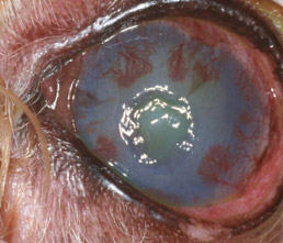 Dog Eye Ulcer