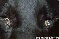 Dog Keratoconjunctivitis