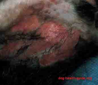 Dog Skin Affected By Parasite (Flea)