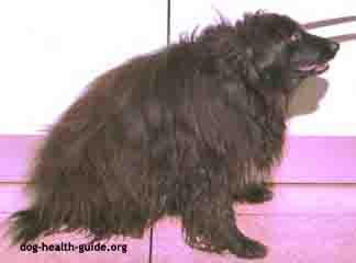 Dog Thyroid Problem