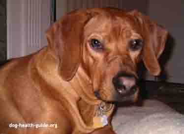 Canine Patient: Dog Vomiting Blood