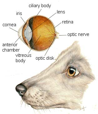 Dog Eye Anatomy