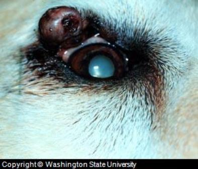 Dog Eyelid Tumor