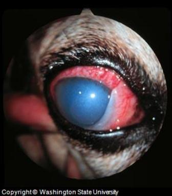 Dog Glaucoma