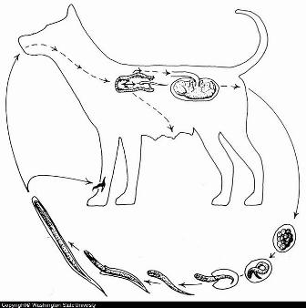 Diagram: Canine Hookworm Lifecycle