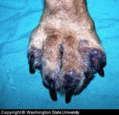 dog pyoderma foot