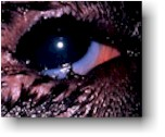 Dog Entropion Eyelid Picture Before Surgery