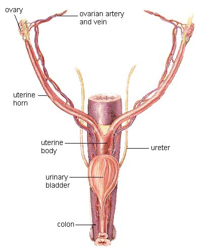 Female Incontinence Urinary System