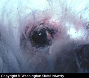 Canine Skin Rash Around Eye