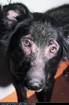 Canine Skin Rash on Dog's Face