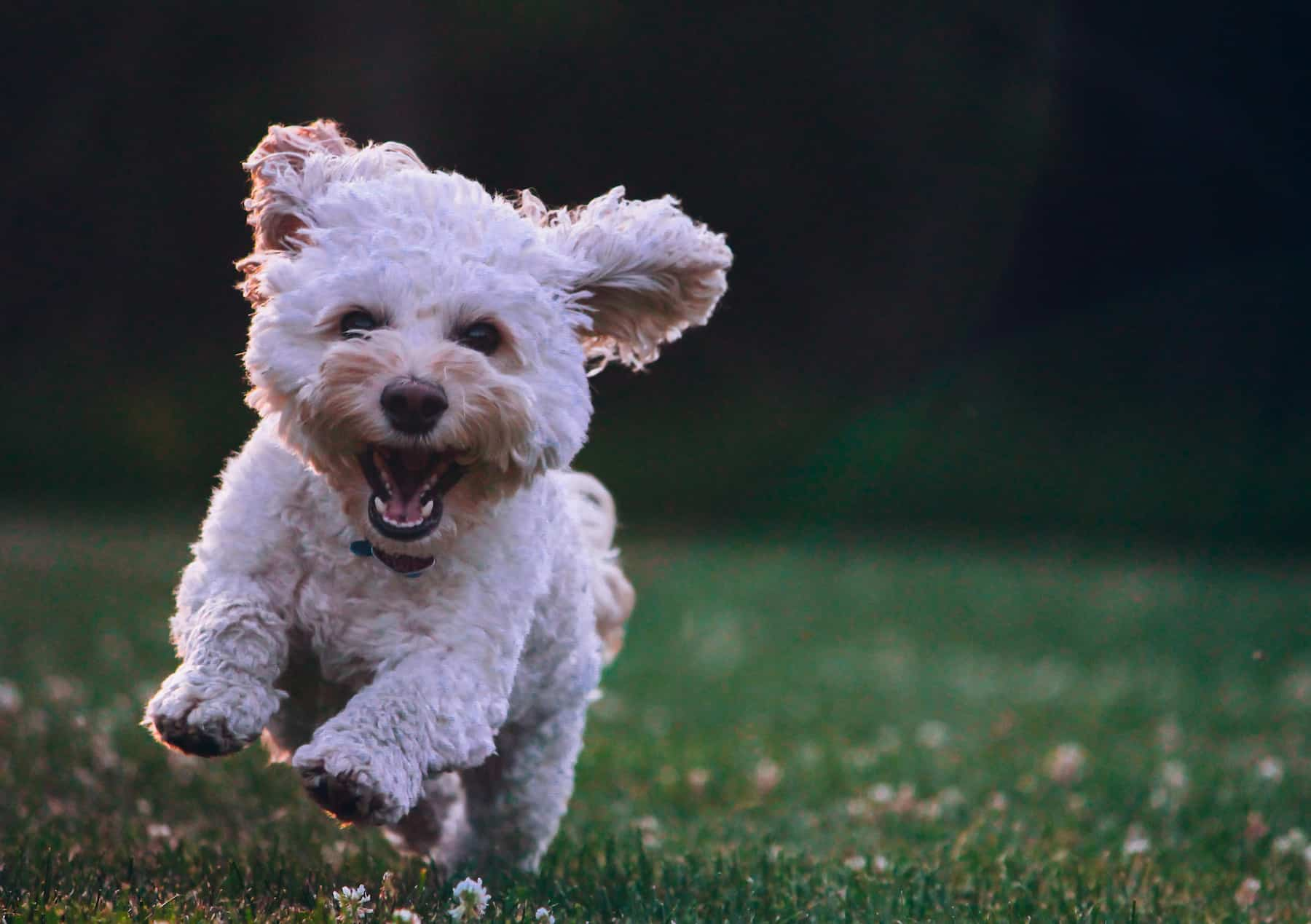 happy dog running and barking
