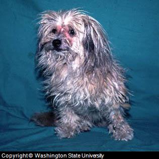 Lhasa Apso with Atopic Dermatitis