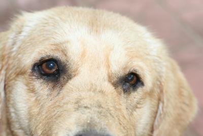 Dog Eye Inflammation and Lump on Dog Eye