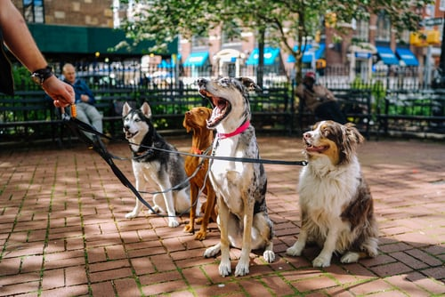 dog walker with four dogs on leash
