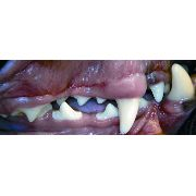 Short Muzzle Buccal canine teeth