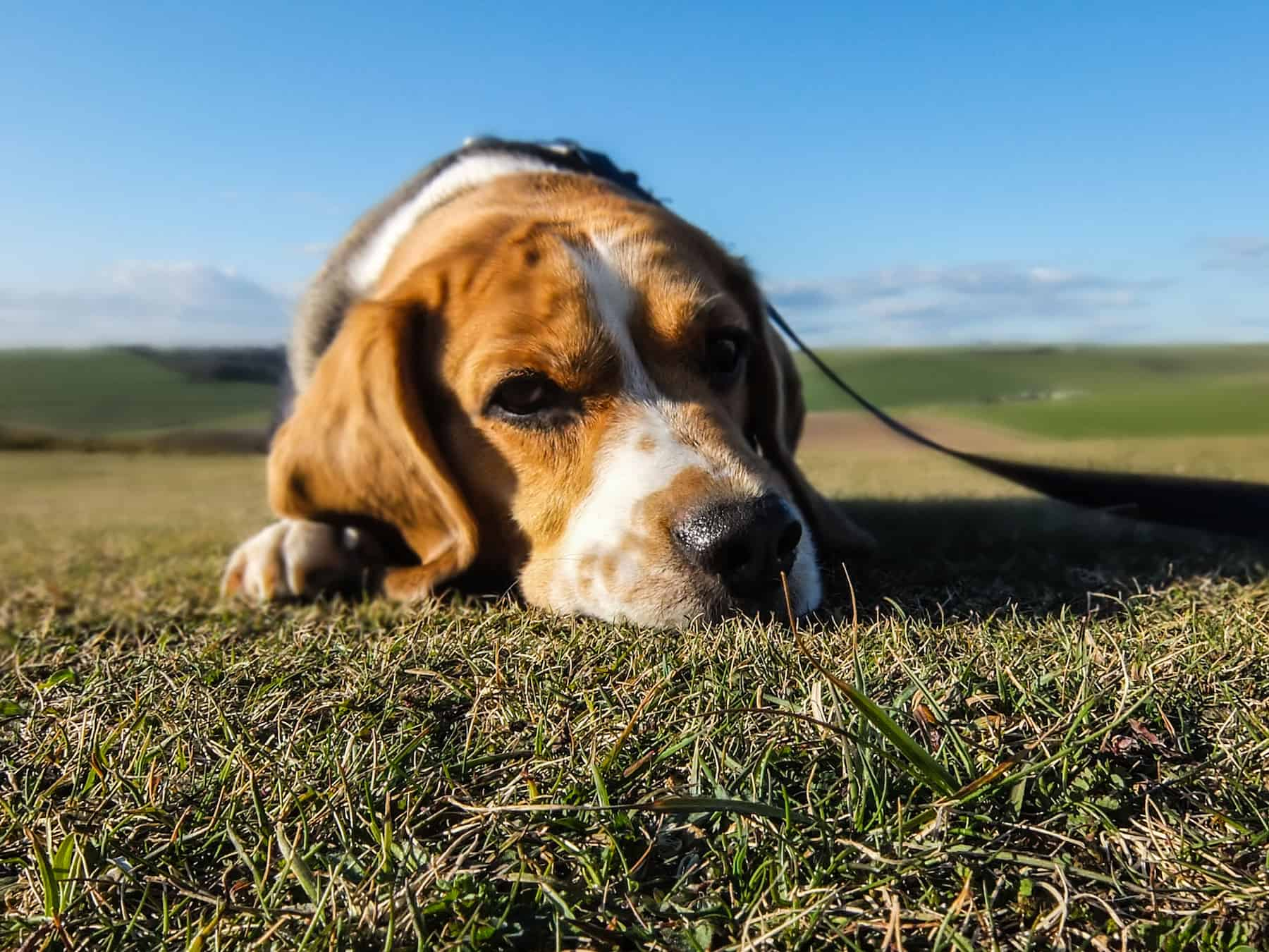 sick dog on grass