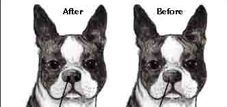 Before and After Stenotic Nares Surgery for Brachycephalic Dog Breeds