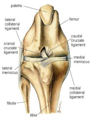 Canine Anatomy: Knee Joint