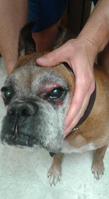 Timba-boxer-right eye