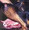 Superficial Dog Nose Infection Mucocutaneous on a Rottweiler dog