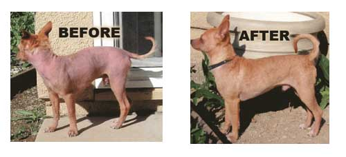 Dog Shown Before and After Treatment for Mange Mites
