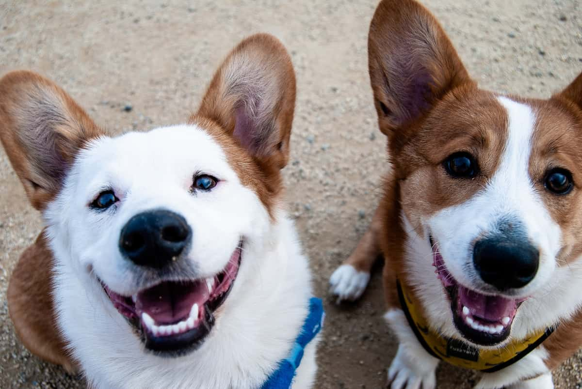 two smiling happy dogs