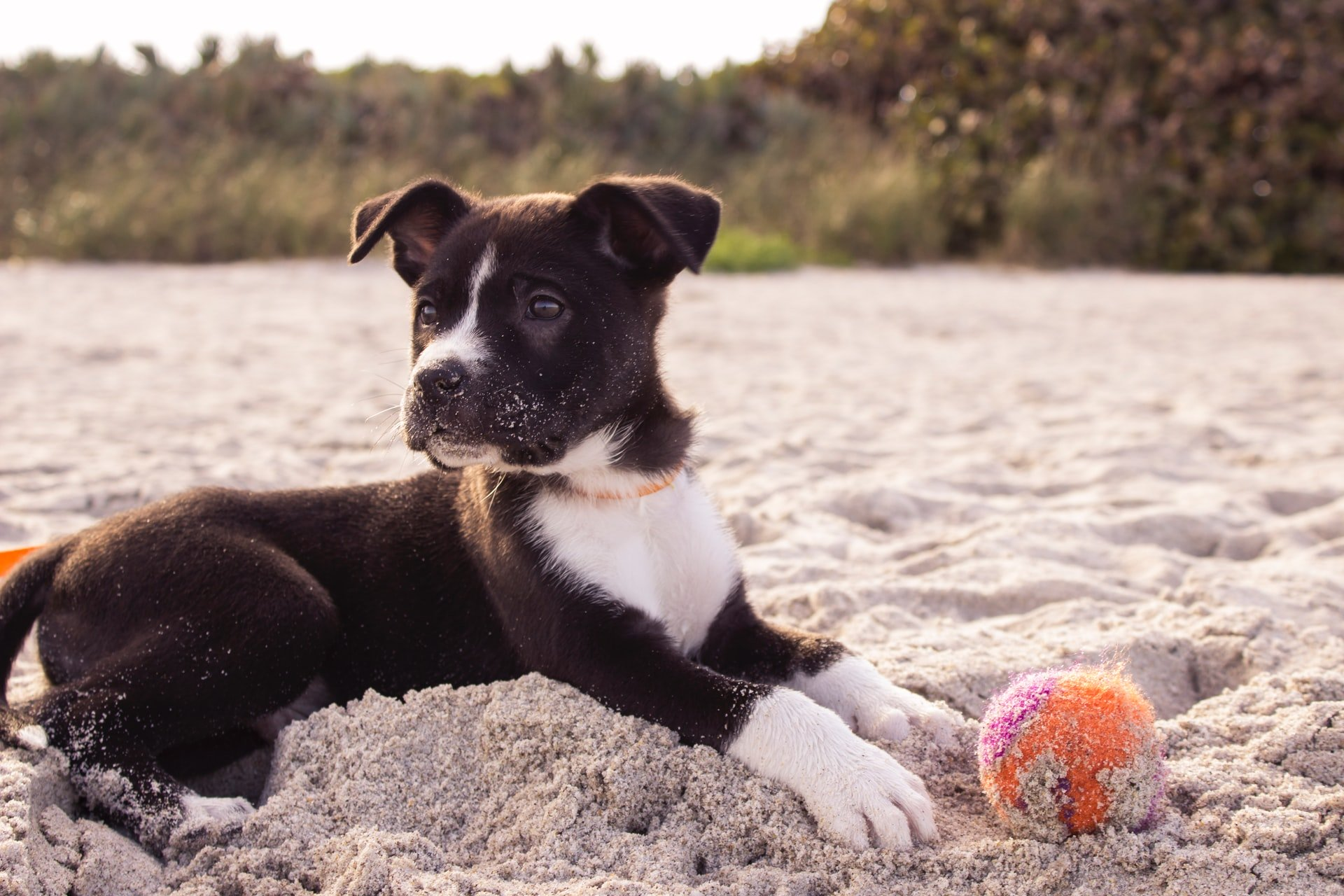 black and white coated puppy