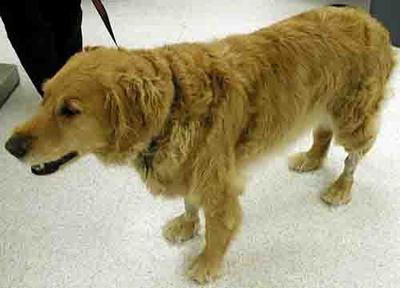 Human Glucosamine and Chondroitin can be given to an Immune mediated arthritic Golden retriever dog like this one<br><small>Source: Washington State University</small>.