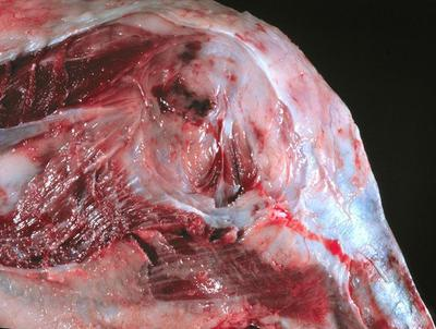 Example of Dog Osteosarcoma (bone cancer) in Kneed Joint (Stifle)<br>Photo Credit: WSU