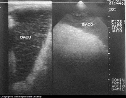 Enlarged Canine Spleen