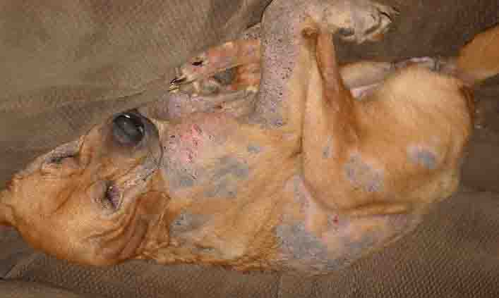 Dog With Demodectic Mange