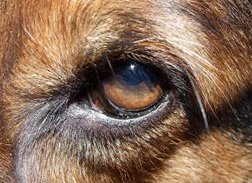 Example of a Dog Eye Infection