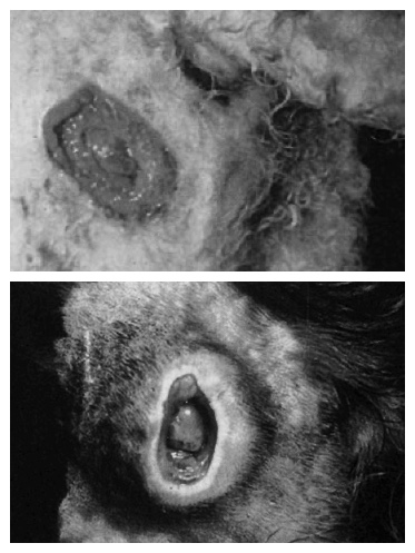 dog skin ulcer photos