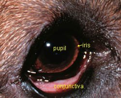 Dog Eye Anatomy: Conjunctivitis