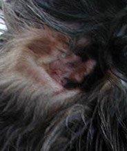 Dog Ear Infection - Cocker Spaniel Otitis